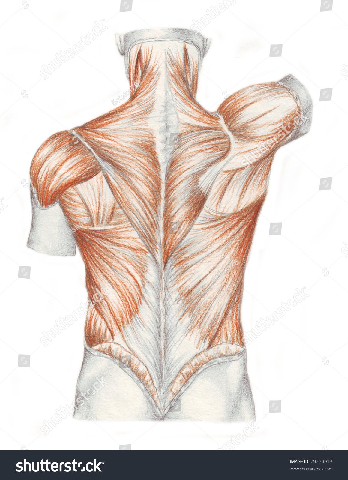 Human Muscle Back Anatomy Kefei04