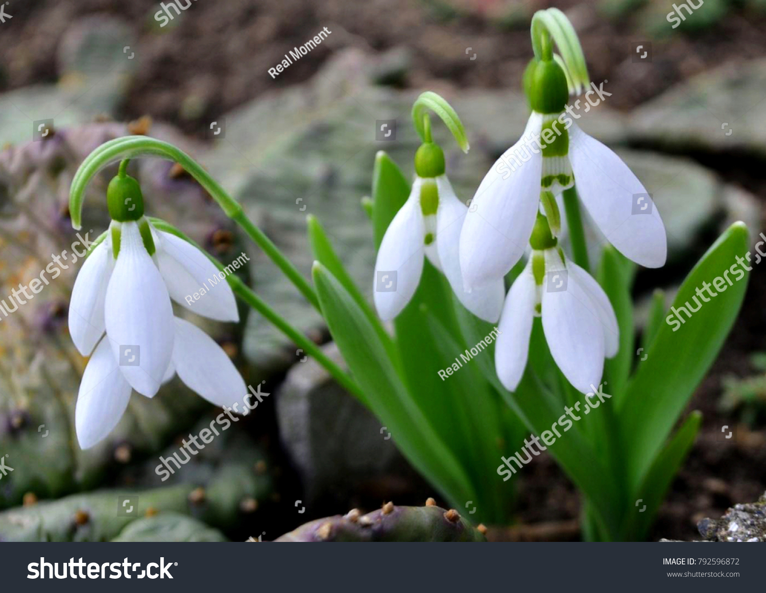 Tell us everything about Snowdrops .... Why are they considered rare colors of the spring ... I did not have to see them