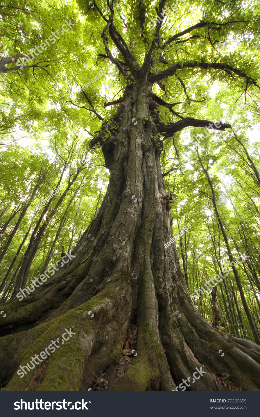 Vertical Photo Old Tree Green Forest Stock Photo 79269655 ...