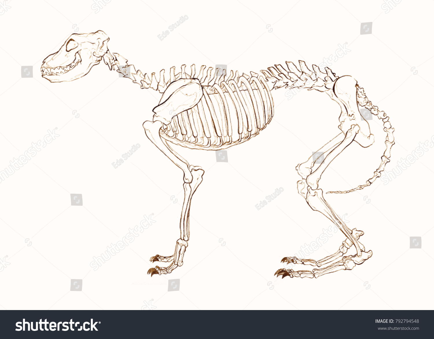 Anatomy Skeleton Dog Vintage Retro Gothic Stock Illustration ...