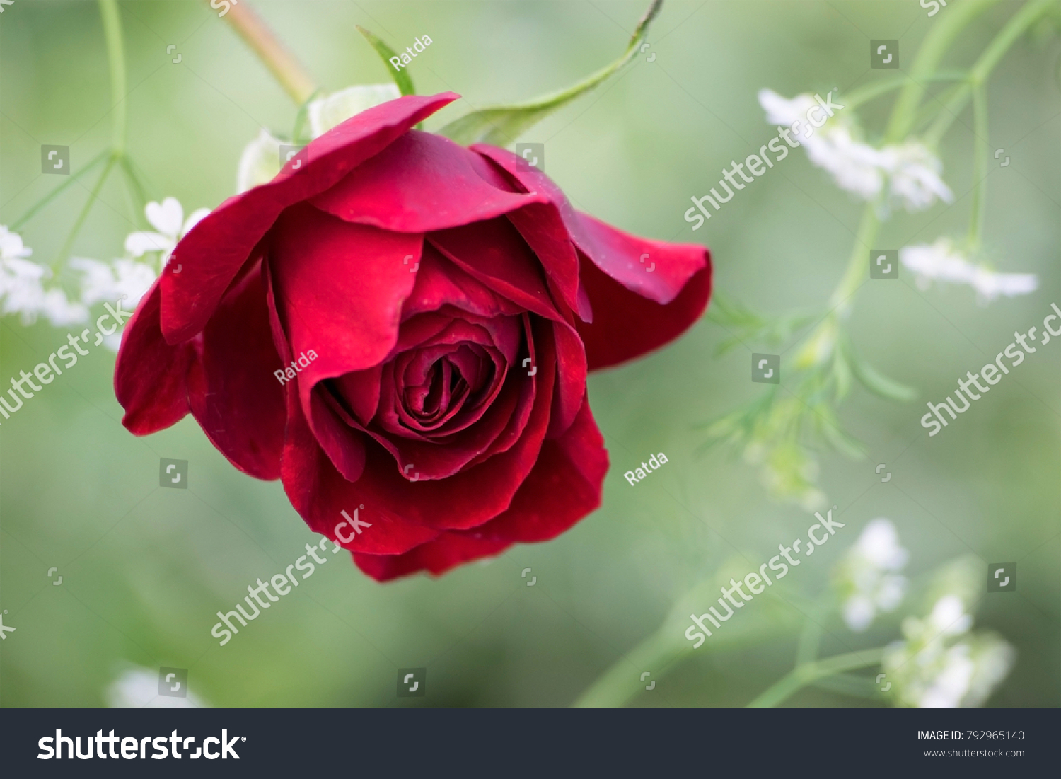 Beautiful Deep Red Rose Bloom Meaning Stock Photo (100% Legal ...