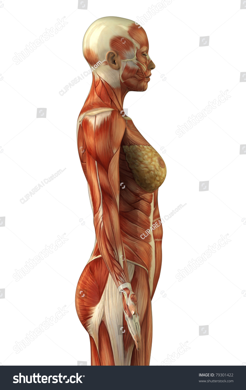 Body Without Skin Lateral View Stock Illustration 79301422