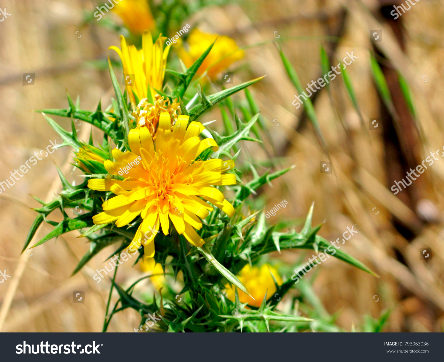 Yellow Flowers On Spiny Stem Closeup Stock Photo Image Royalty