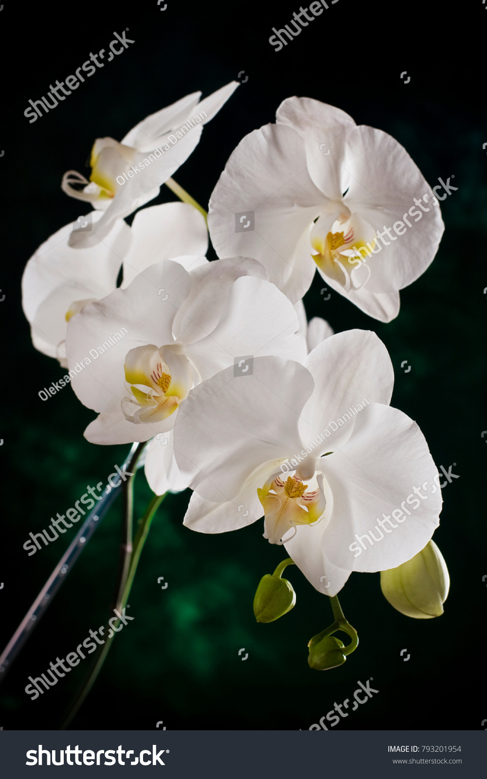 White Orchid Flowers At Green Branch With Blossom And Leaf Buds