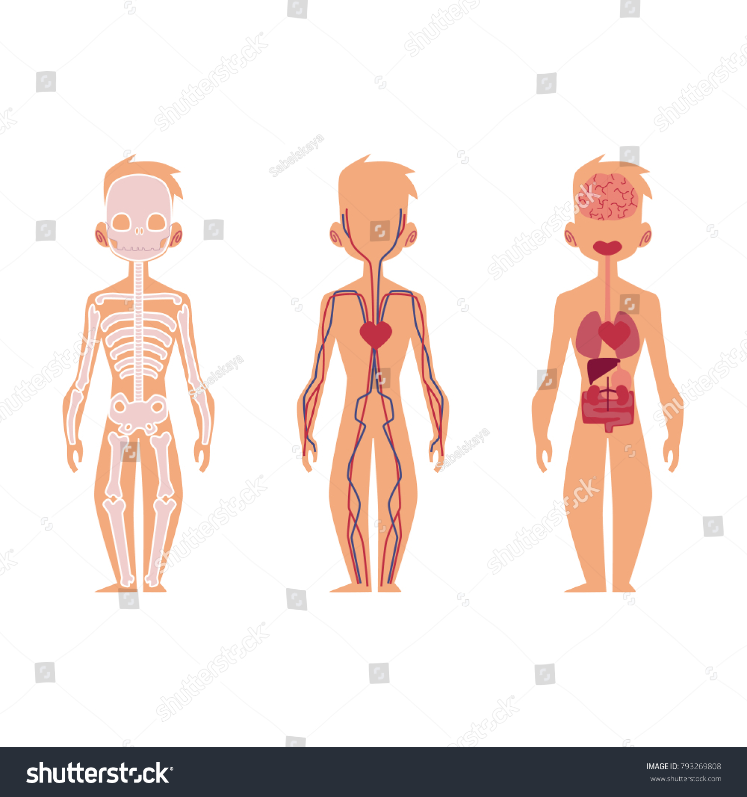 Vector Flat Structure Human Body Anatomy Stock Vector Royalty Free