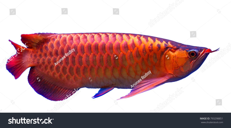 Super Red Arowana Fish On White Stock Photo (Royalty Free) 793298851 ...