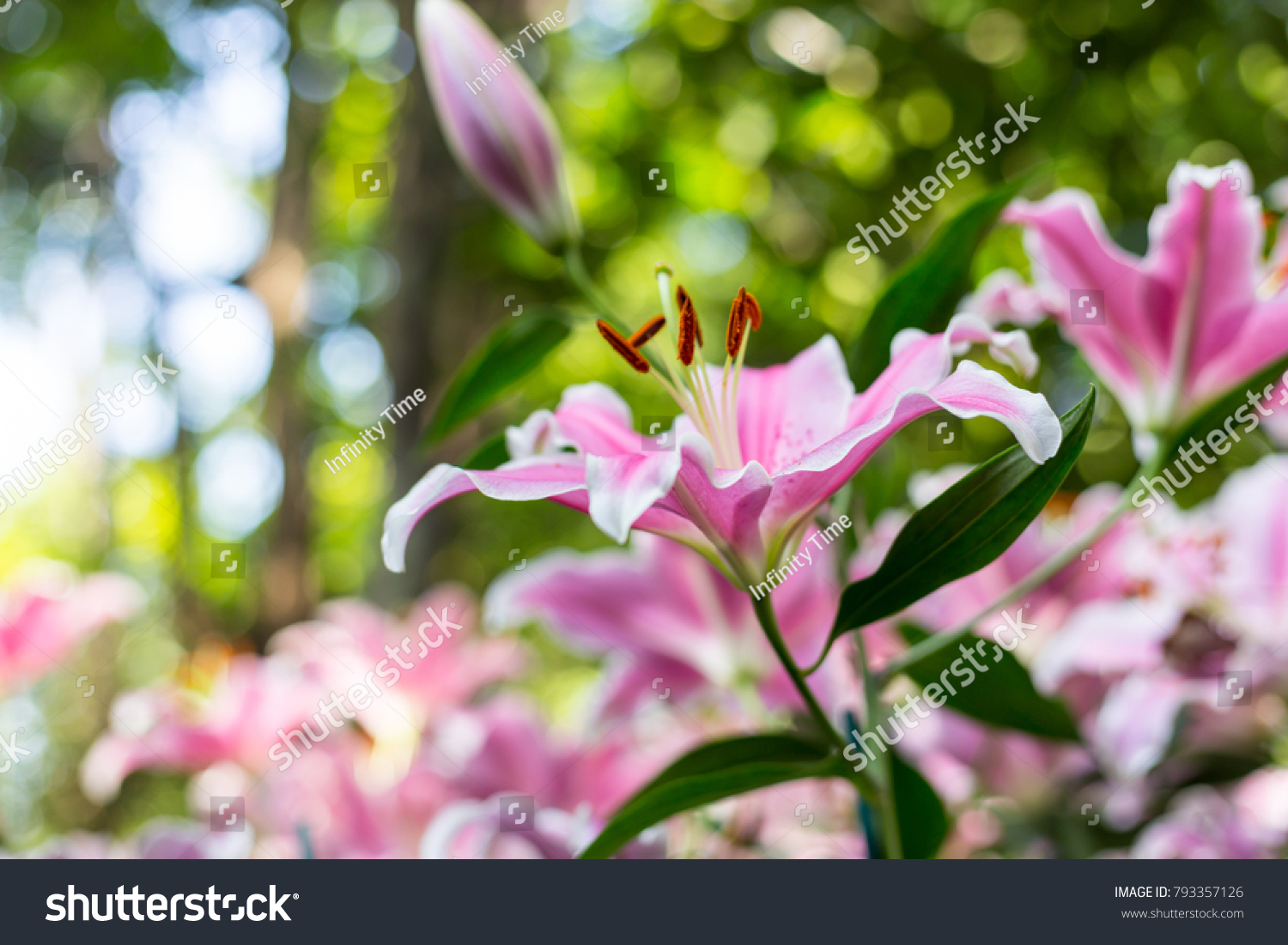 Zephyranthes Flower Common Names Species This Stock Photo (Edit Now