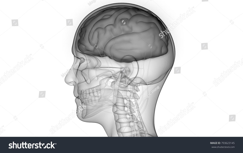 Human Brain Nervous System Anatomy 3 D Stock Illustration 793623145 ...