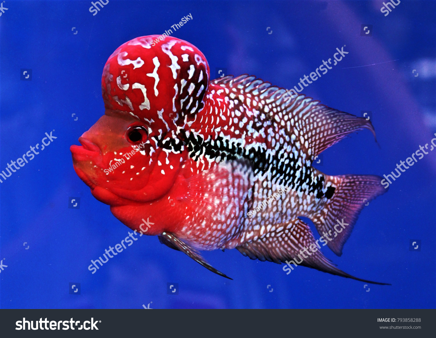 Red Cichlids Fish Head Looking Beautiful Stock Photo (Safe to Use ...