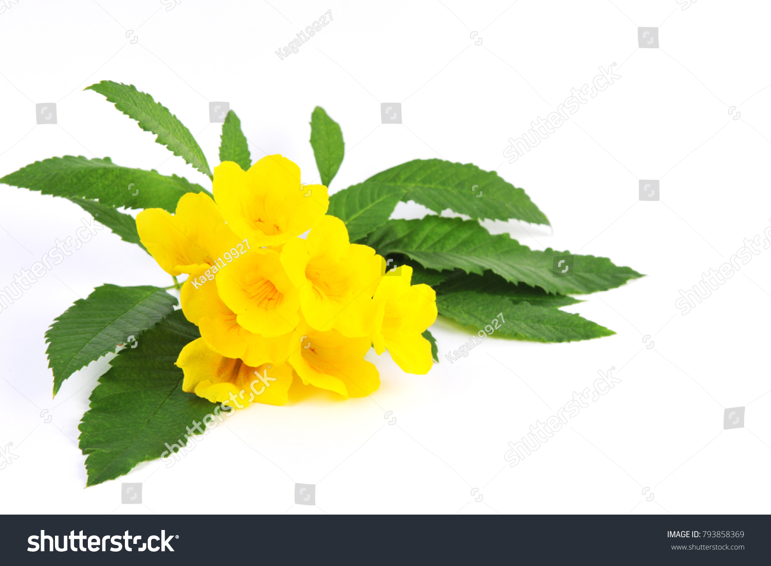 Yellow Elder Flower Yellow Elder Trumpetbush Trumpetflower Stock