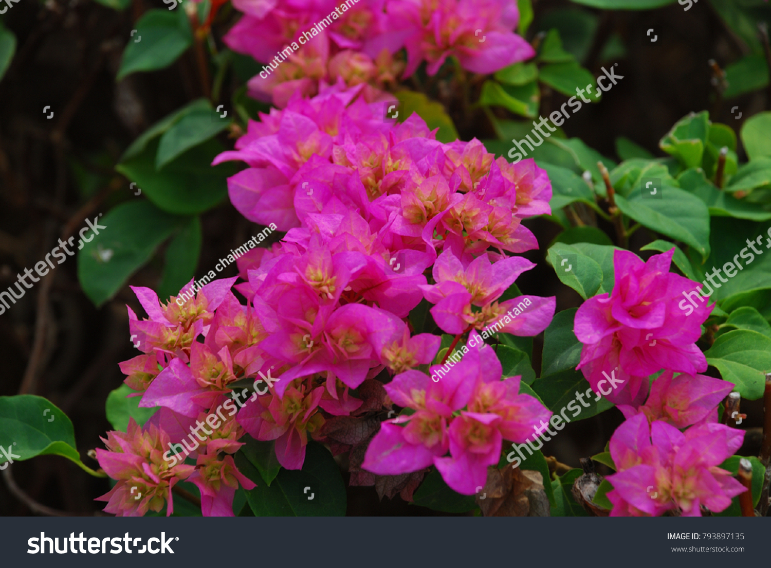 Bougainvillea Perennial Bush The Thorns Up The Trunk Single Leaves