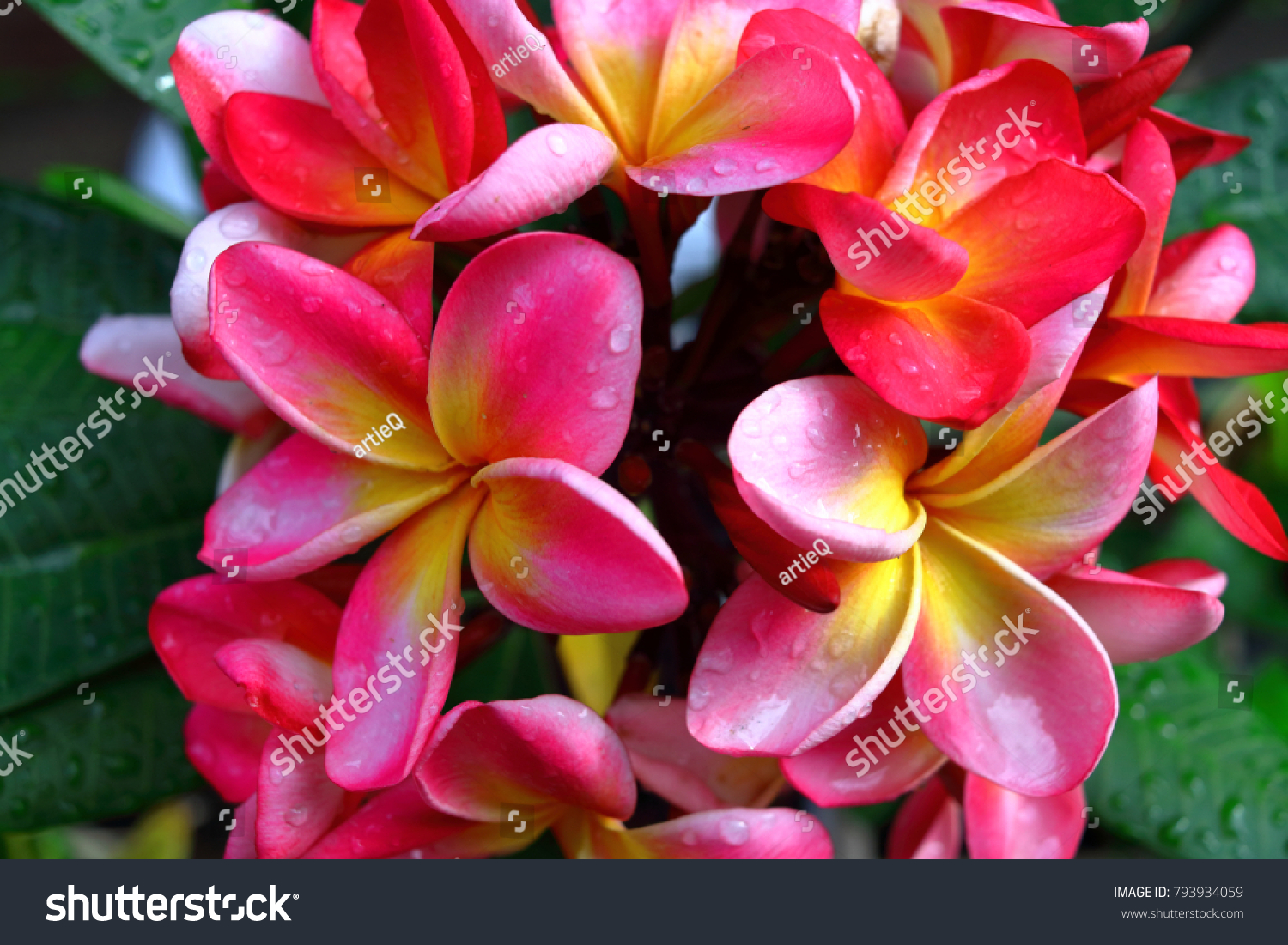Tropical Pink Flower Frangipaniplumeria After Raining Ez Canvas