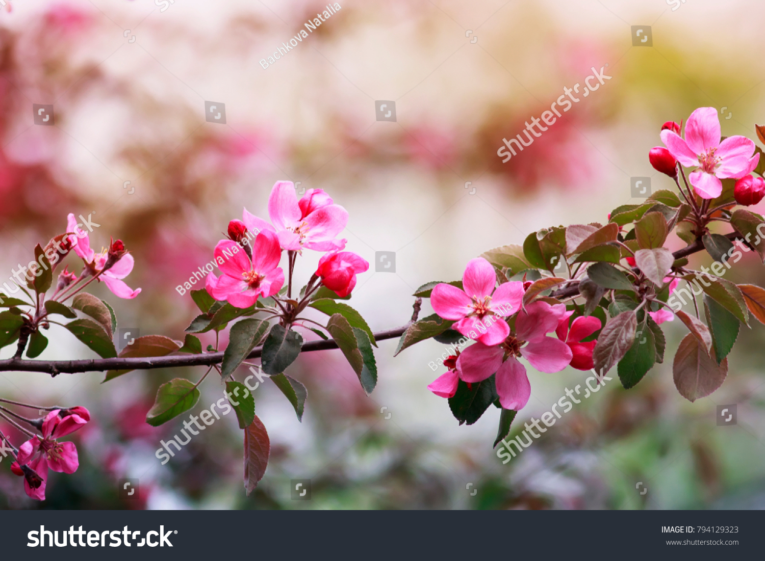 Branch Apple Tree Pink Fragrant Flowers Stock Photo Royalty Free