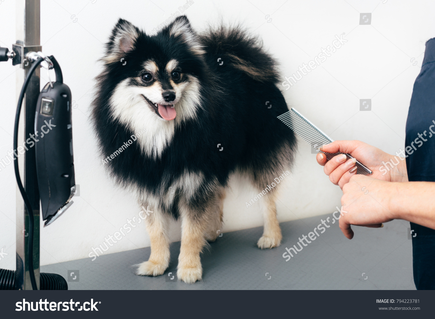 Black Pomeranian Spitz Grooming Salon Hand Stock Photo Edit Now