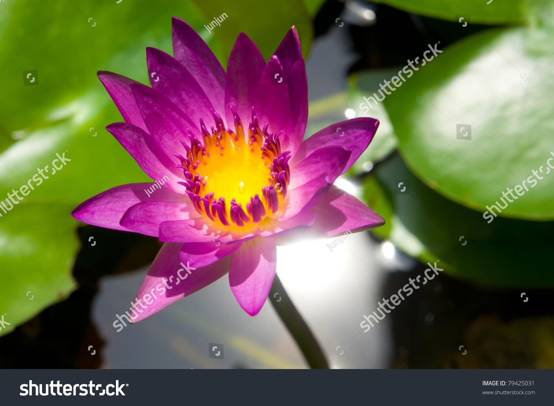 Mauve Lotus Flower Blooming Pond Lotus Stock Photo Royalty Free