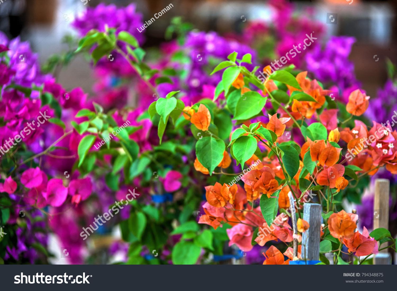 Bougainvillea Thorny Ornamental Vines Bushes Trees Stock Photo ...