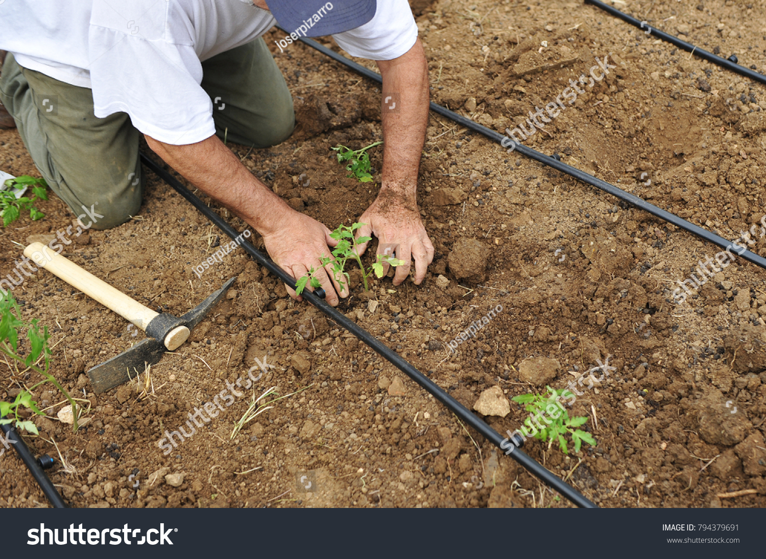 Gardener Sowing Vegetables Drip Irrigation Orchard Stock Photo (Edit ...