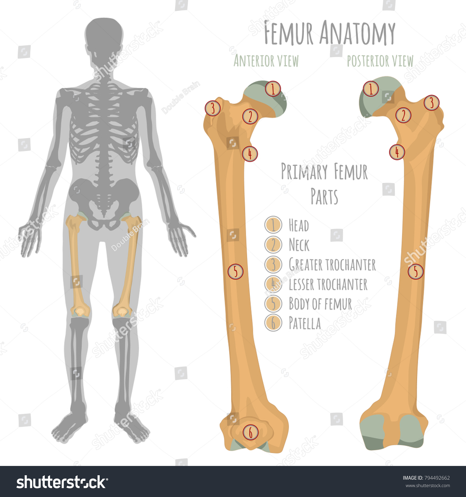 Male Hip Bone Anatomy Anterior View Stock Vector (Royalty Free ...