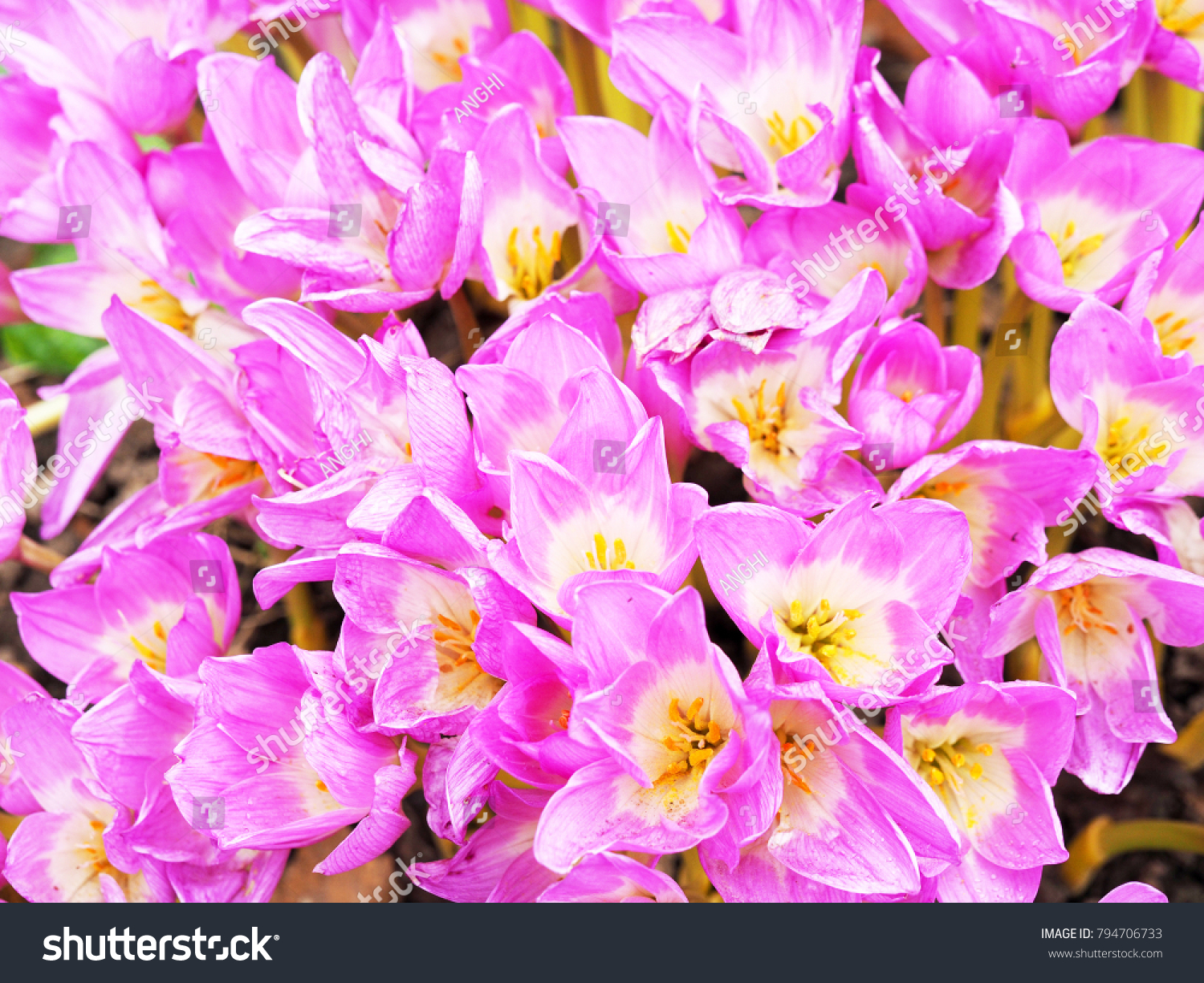 Colchicum Pink Flowers Family Colchicaceae Common Stock Photo Edit