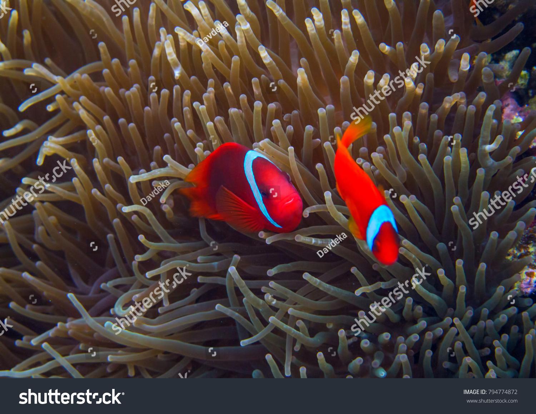 Clown Fish Actinia Orange Clownfish Anemone Stock Photo (Royalty ...