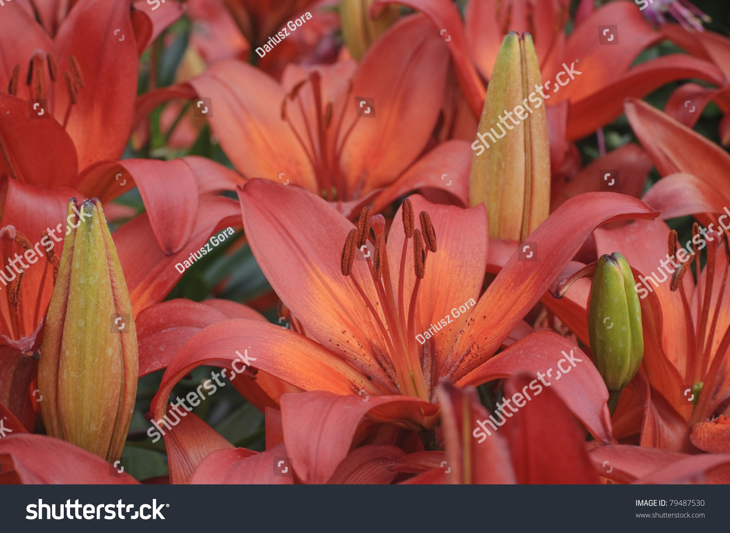 The red lily flowers and buds ez canvas id 79487530 izmirmasajfo