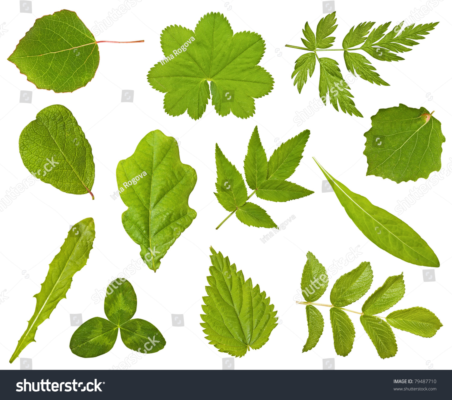 Set leaf different plants on white stock photo 79487710 for Different types of plants and trees