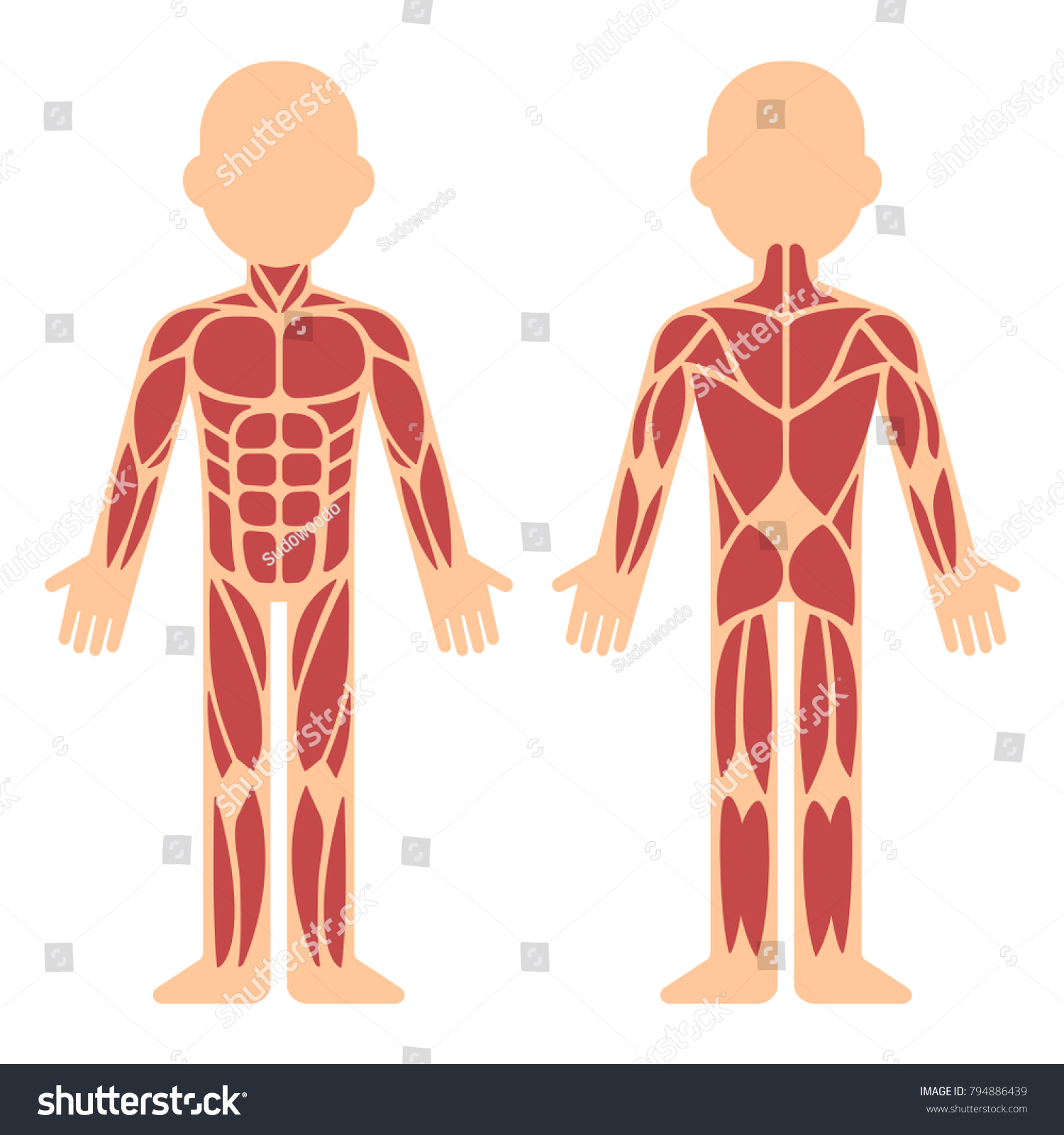 Stylized Muscle Anatomy Chart Front Back Stock Vector (2018 ...