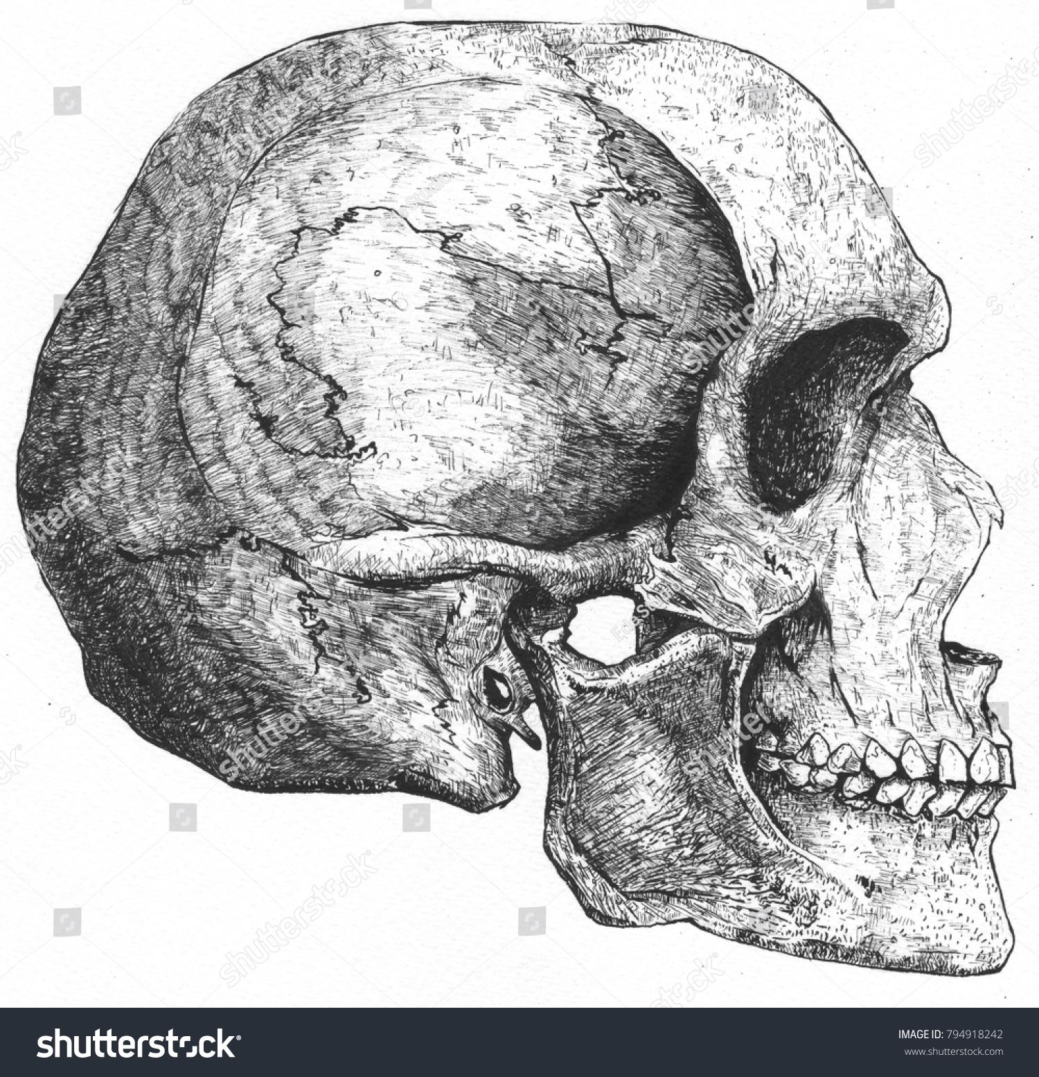 Anatomy Human Skull Head Side View Stock Illustration Royalty Free