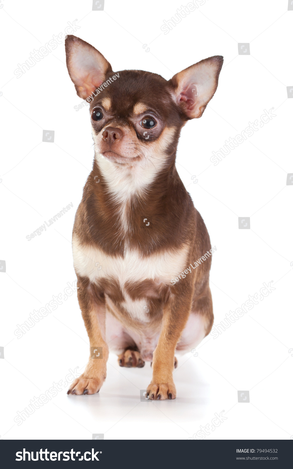 short coat chihuahua short coat chihuahua on a white background stock photo 725