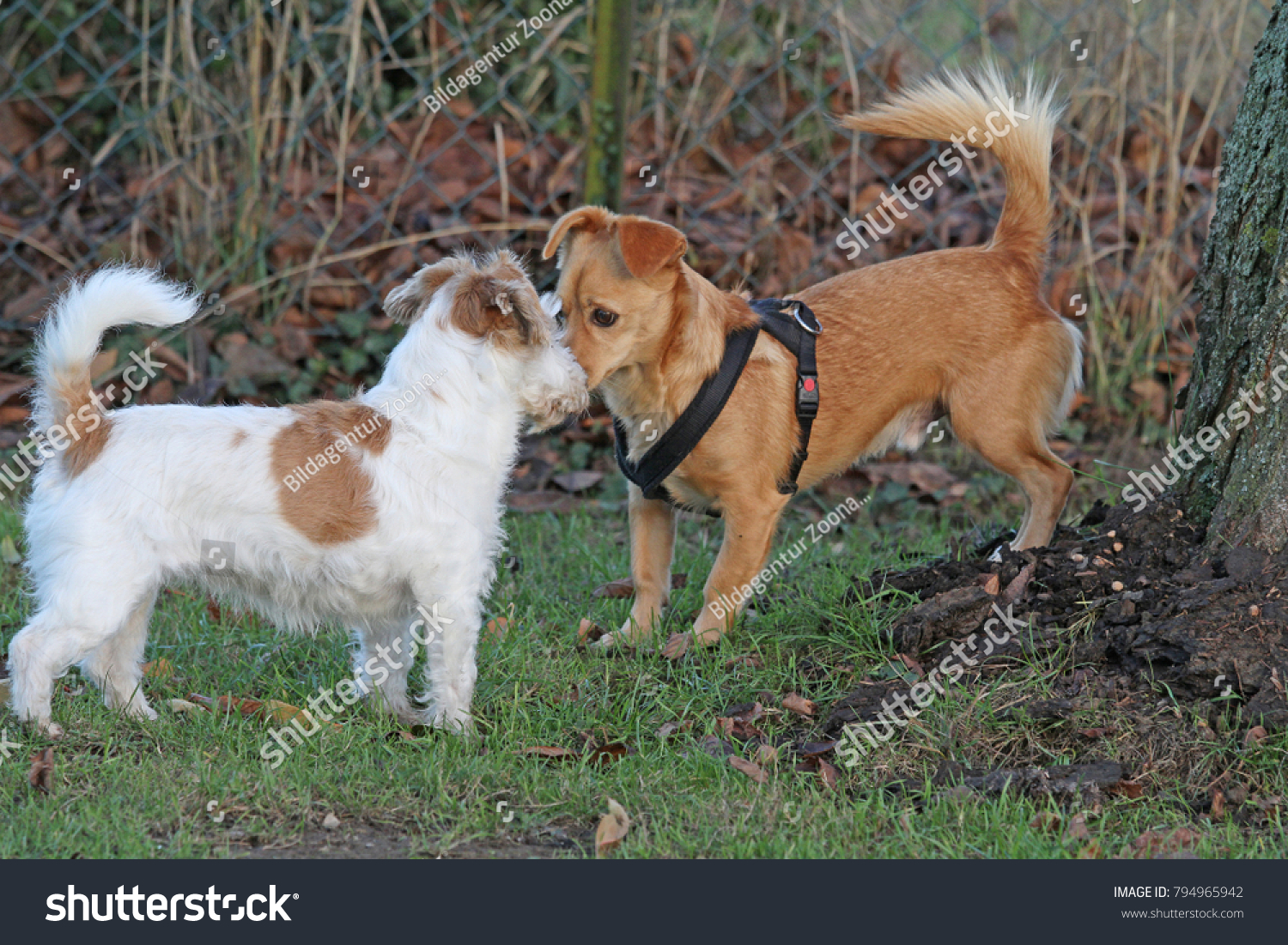 Jack Russell Terrier Wirehaired Maneto Mix Stock Photo Edit Now
