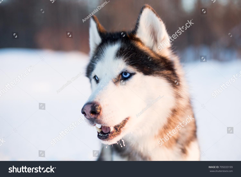 Portrait Siberian Husky Dog Black White Stock Photo Edit Now