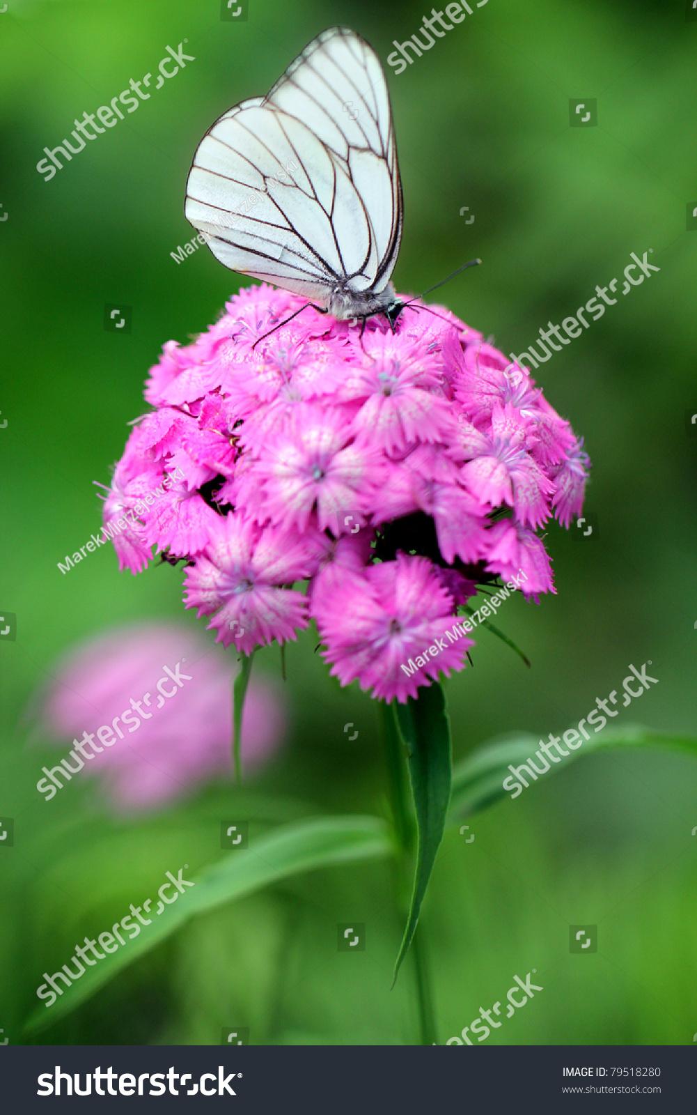 Dianthus Barbatus Sweet William Flower Blackveined Stock Photo Edit
