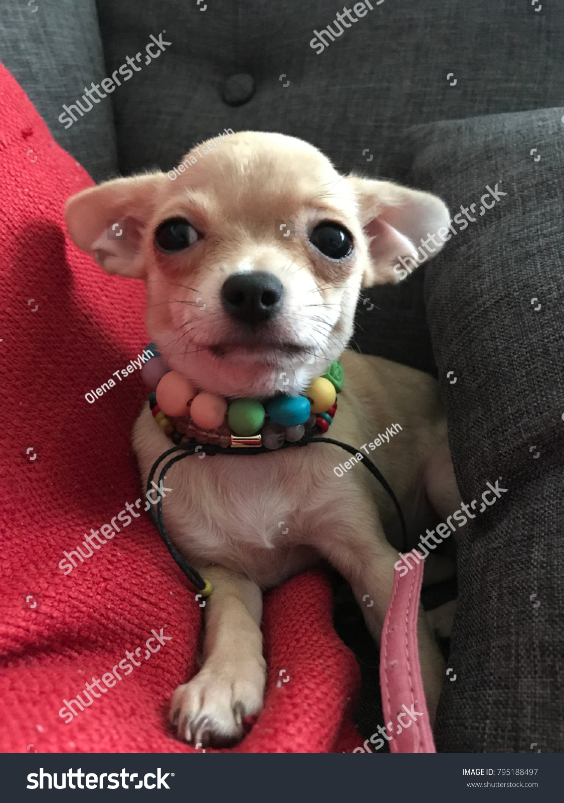 Beige Chihuahua Puppy 5 Months Old Stock Photo Edit Now 795188497