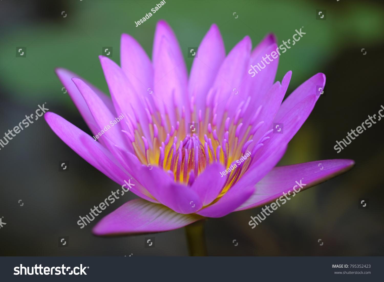 Purple Lotus Flower Ez Canvas