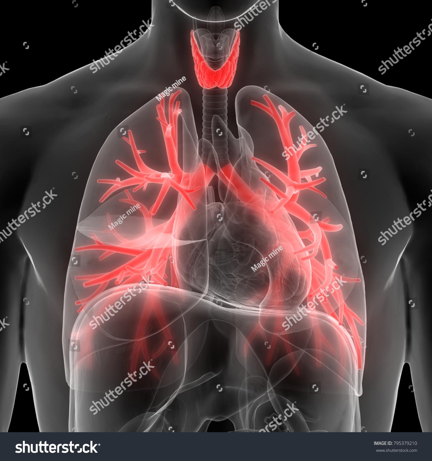 Human Body Glands Anatomy Thyroid Gland Stock Illustration 795379210