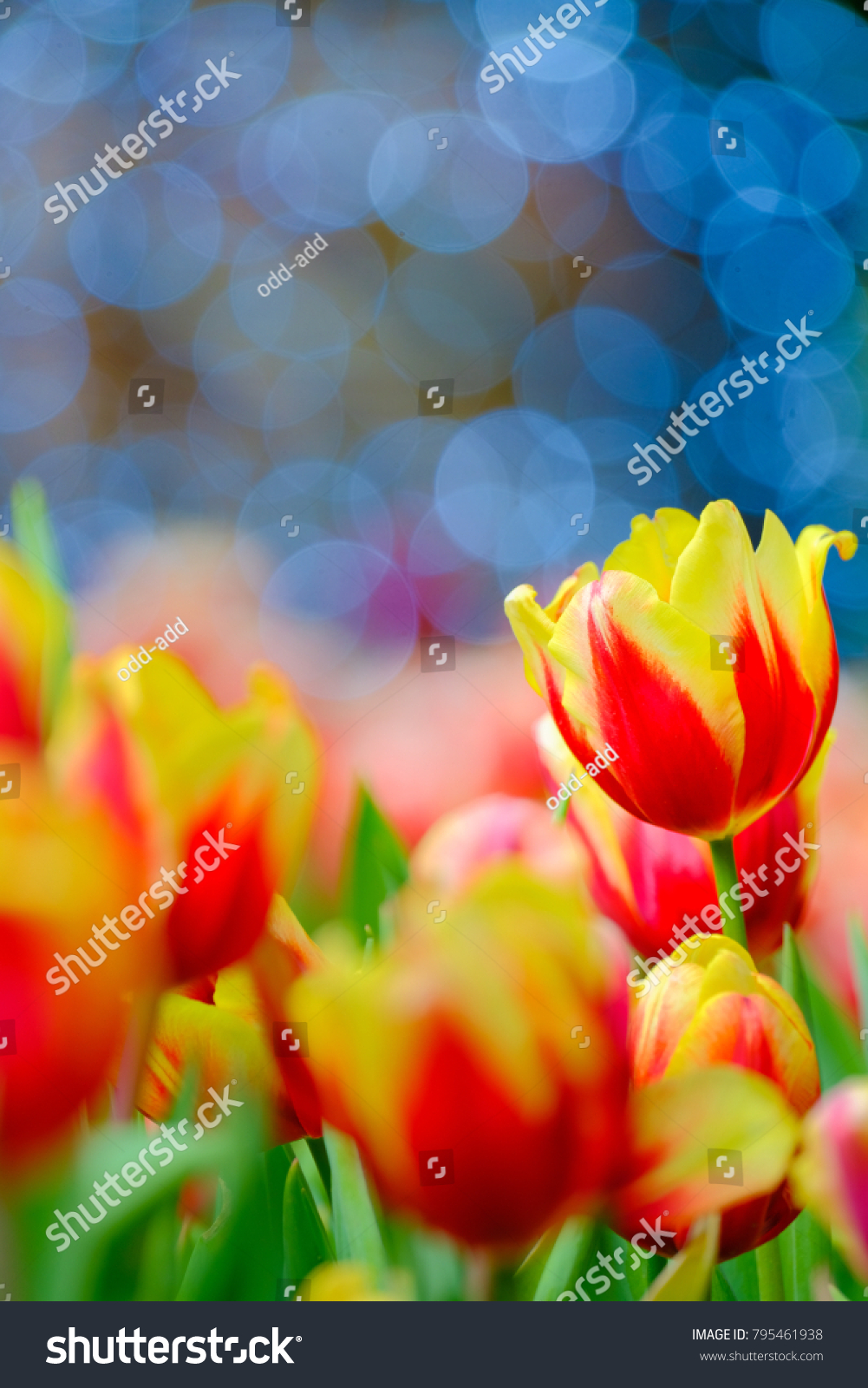 Tulip Flower Garden Spring Season Bokeh Stock Photo Edit Now