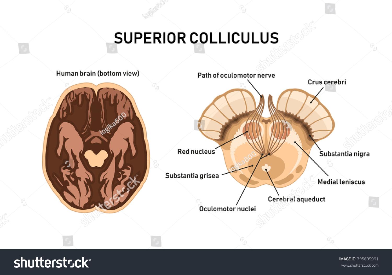 Superior Colliculus Midbrain Anatomy Vector Illustration Stock
