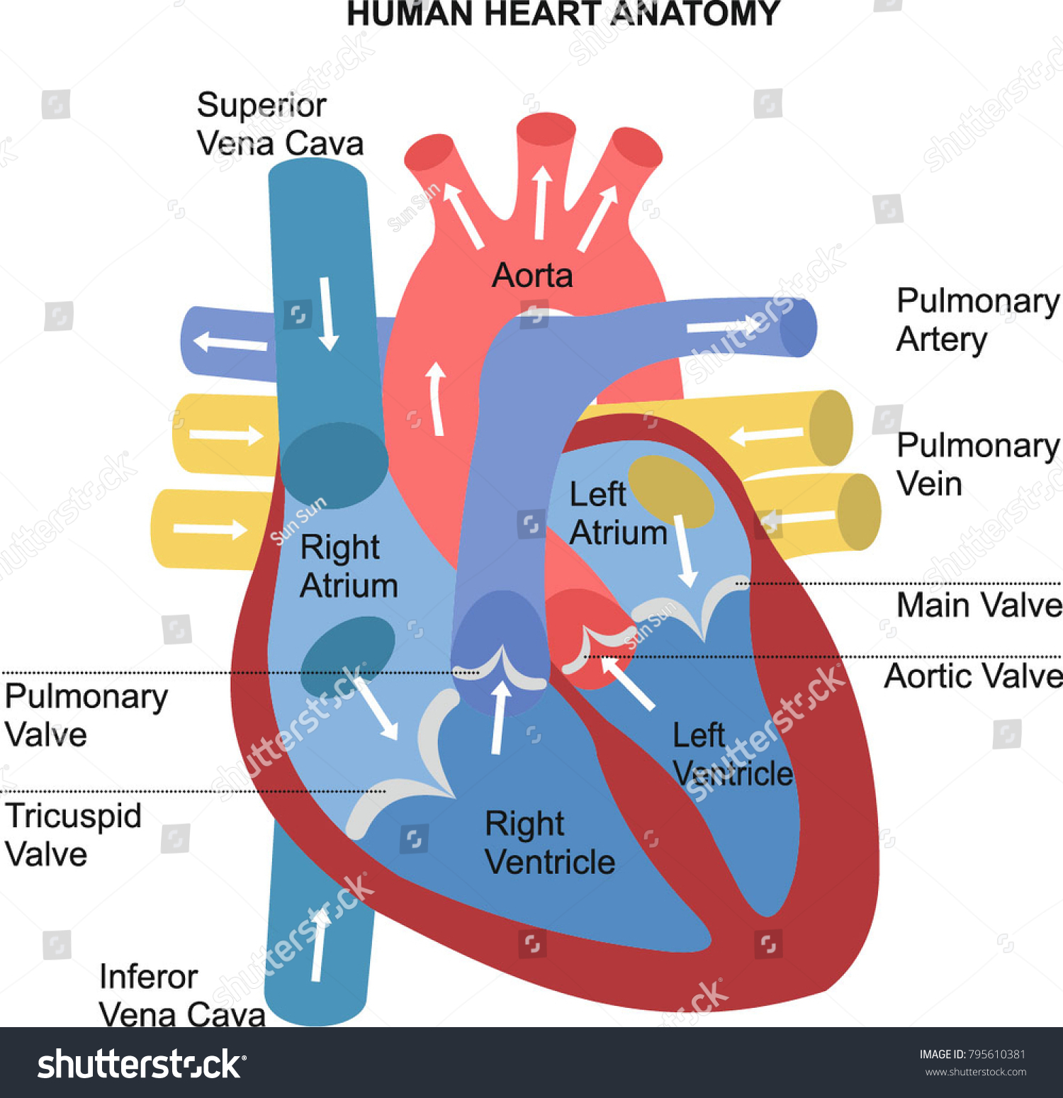 Human Heart Anatomy Diagram Stock Vector 795610381 - Shutterstock