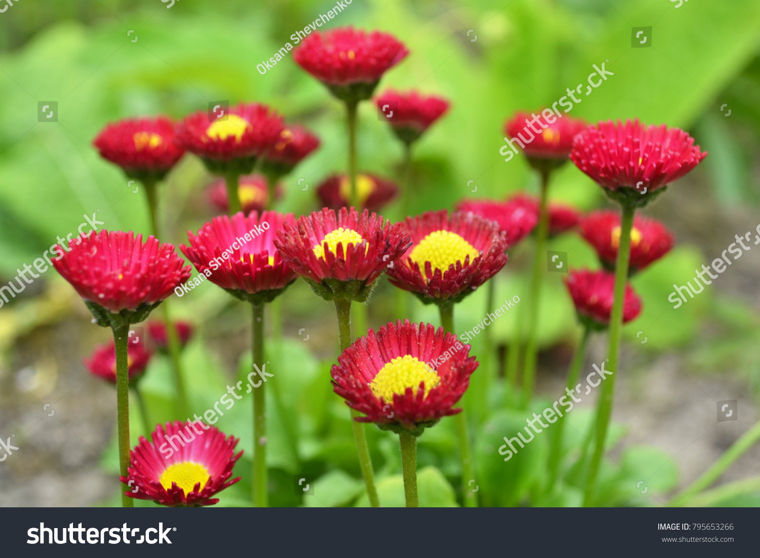 Daisy Flower Bed Beautiful Flowers Red Stock Photo Edit Now