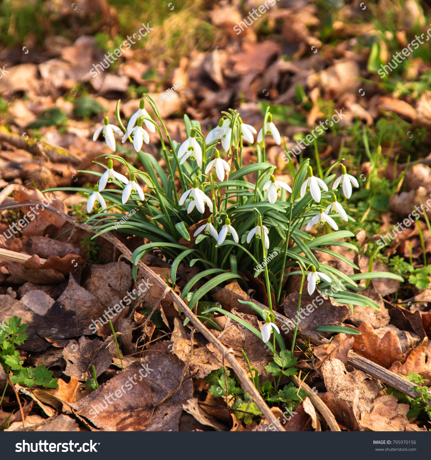 First Spring Flowers Snowdrops Delicate Spring White Forest Flowers