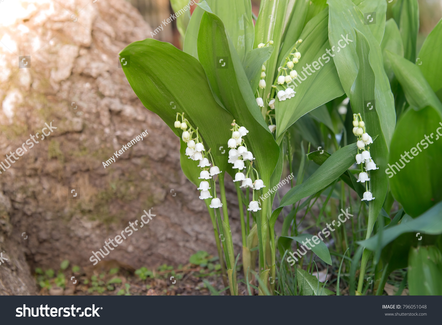 White Bell Shaped Flowers Hang Lily Stock Photo Edit Now 796051048