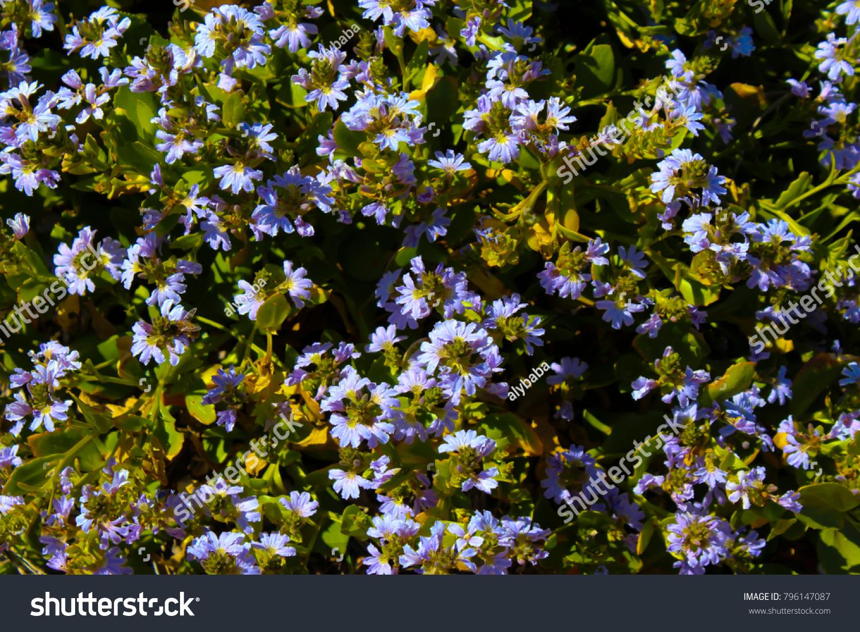 Western Australian Wildflower Blue Scaevola Nitida Stock Photo Edit