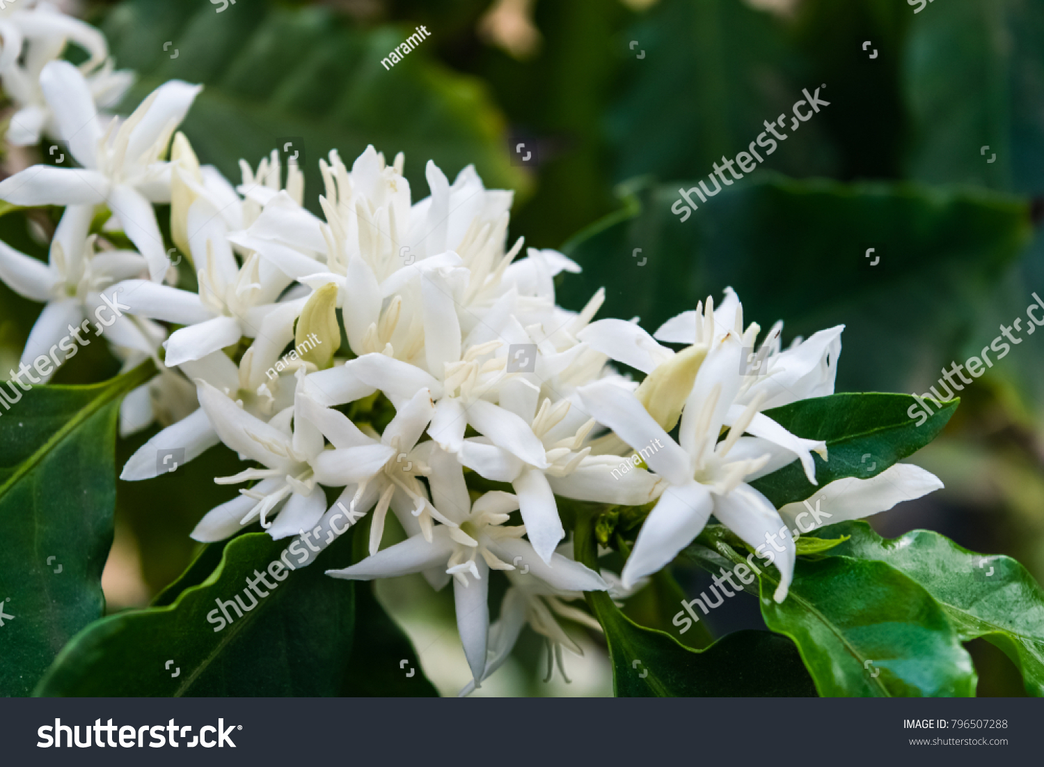 Coffee Tree Blossom White Color Flowers Stock Photo Edit Now