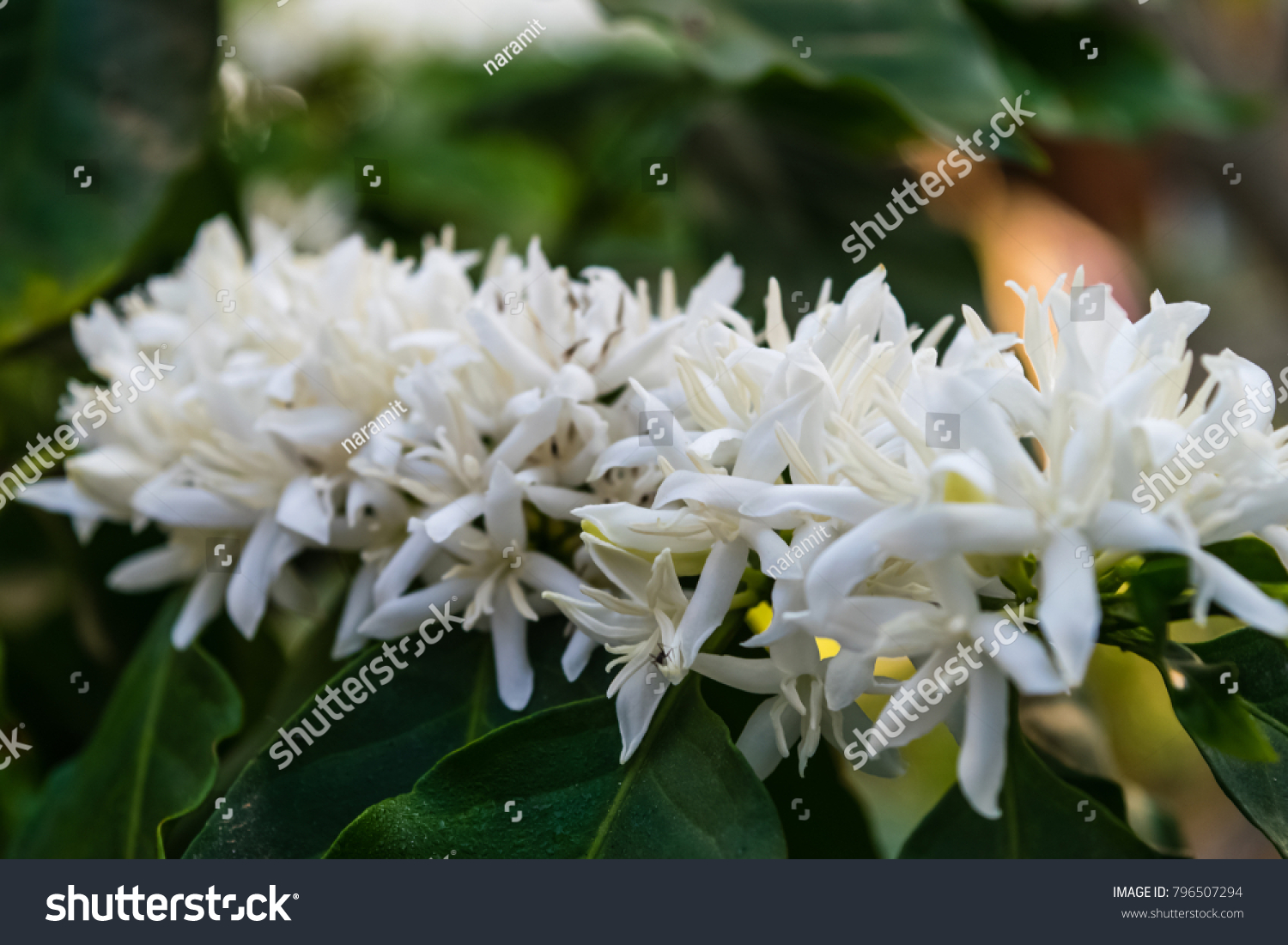 Coffee Tree Blossom White Color Flowers Stock Photo Royalty Free