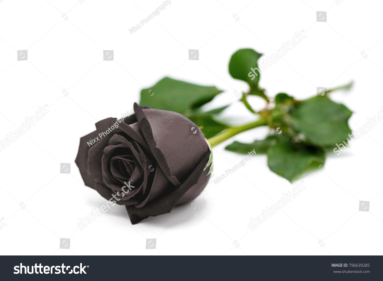 Beautiful black rose isolated on white stock photo edit now the beautiful black rose isolated on white background for bad valentines day izmirmasajfo
