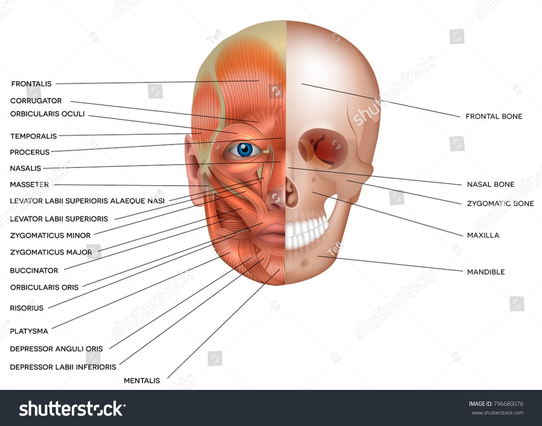 Groß Zygomaticus Haupt Bilder - Menschliche Anatomie Bilder ...