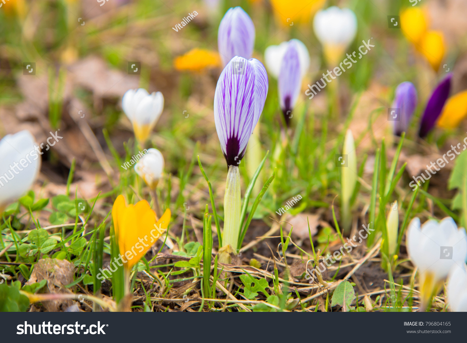 First Spring Flowers Crocus White Spring Stock Photo Royalty Free