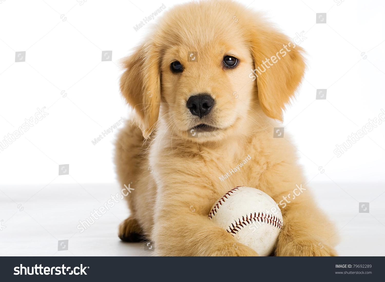 Cute Golden Retriever Puppy Baseball Stock