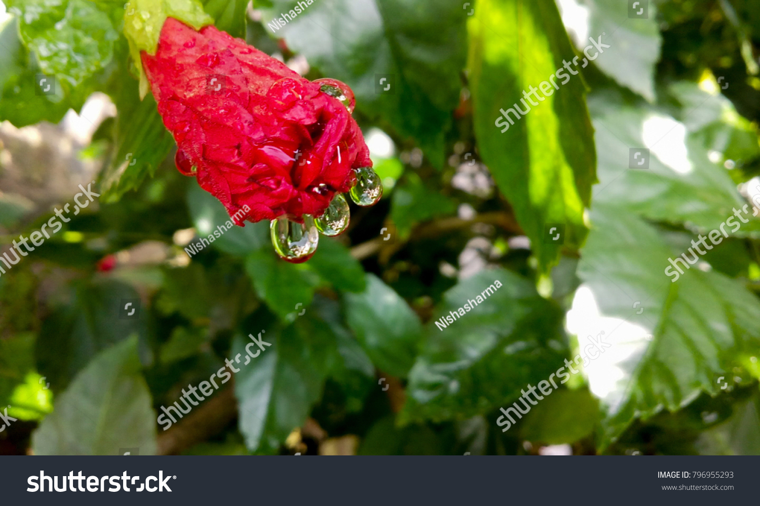 Water Droplets Falling Red Hibiscus Flower Stock Photo Download Now