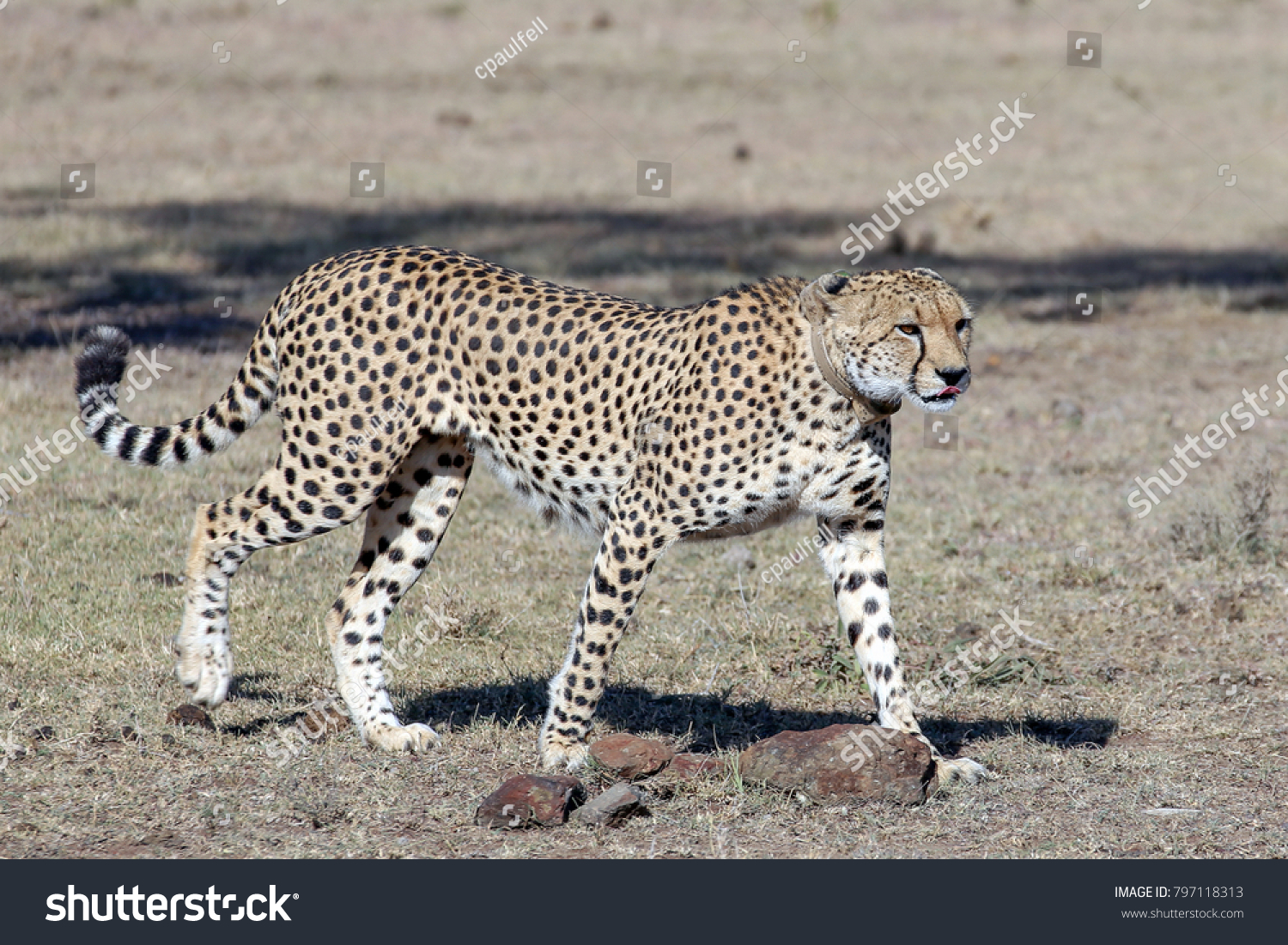stock-photo-a-large-beautiful-male-cheet